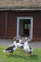 Where Linnaeus was born. Geese on the lawn. The farm at Rashult where Linnaeus was born. Smaland region. Sweden, Europe.