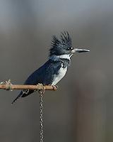 Belted Kingfisher, Fish Hatchery, Burnet, TX