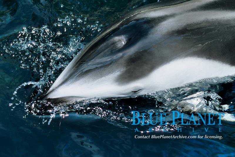 pacific white sided dolphin, Lagenorhynchus obliquidens, (C), Vancouver aquarium, Vancouver Island, British Columbia, Canada