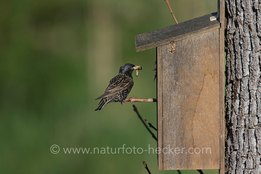 Star, mit Futter am Nistkasten, fütternd, Sturnus vulgaris, European starling
