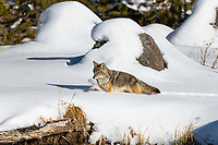 """Coyote (Canis latrans) breaks trail through deep snow along the bank of the Madison River. We watched this female prowling the bank and investigating the water (she may have been one of the Madison's """"fishing Coyotes"""" but we didn't actually see her fish) for over an hour."""