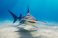 great hammerhead shark, Sphyrna mokarran, Tiger Beach, West End, Grand Bahama, Bahamas, Caribbean Sea, Atlantic Ocean