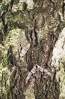Abendpfauenauge, Abend-Pfauenauge, Smerinthus ocellata, Smerinthus ocellatus, Eyed Hawk-Moth, Eyed Hawkmoth, Le sphinx demi-paon, Schwärmer, Sphingidae, hawkmoths, hawk moths, sphinx moths. Tarnung, camouflage