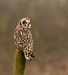 """Pictured:  The owl before fluffy itself up.<br /> <br /> An owl seems to channel the spirit of Marilyn Monroe as it fluffs up its feathers and looks like its wearing a dress.  The short-eared owl was snapped by a keen amateur photographer as it ruffled its feathers.<br /> <br /> Jack Branscombe, 27, said he had been 'desperate' to photograph this species of owl for months and finally got his wish on a gloomy day at an unnamed spot in Essex.  He said: """"I was over the moon to see my first short-eared owl and to get to photograph such a relaxed one was amazing.  SEE OUR COPY FOR DETAILS.<br /> <br /> Please byline: Jack Branscombe/Solent News<br /> <br /> © Jack Branscombe/Solent News & Photo Agency<br /> UK +44 (0) 2380 458800"""