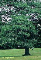 TT18-015b  White Oak - Quercus alba