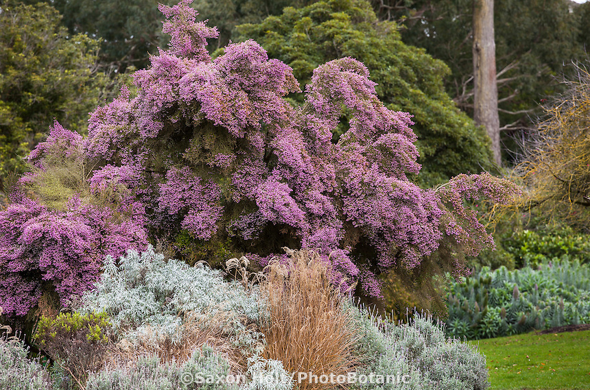 Erica canaliculata, Christmas Heather in border with grasses, silver foliage Tree Wormwood and Lavender; San Francisco Botanical Garden