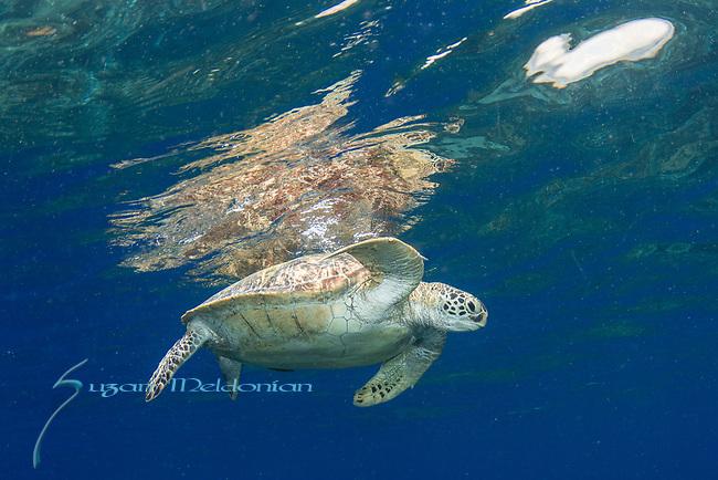 Endangered, Green Sea turtle, Chelonia mydas at Apo Island, Dauin, Philippines,