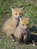 Pair of Red Fox Kits sitting on the side of a hill