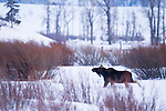 Shiras Moose (Alces alces shirasi) bull in winter, Lamar Valley, Yellowstone National Park, Wyoming