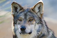 Mexican Wolf (Canis lupus baileyi)