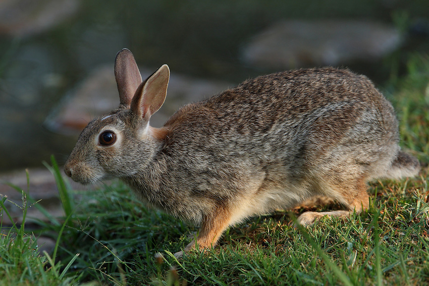 Cottontail rabbit with the first light of day..