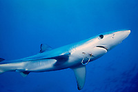 blue shark, Prionace glauca, with fish hook through mouth, California, USA, Pacific Ocean