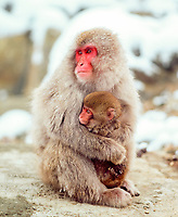 Red-faced macaque, female with young, Japan, Asia