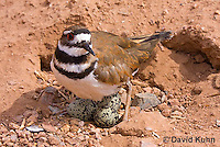 0510-1106  Killdeer, Adult Cooling Eggs in Hot Summer Sun by Shading the Eggs, Charadrius vociferus  © David Kuhn/Dwight Kuhn Photography