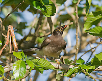 Brown jay, Cyanocorax morio, eating fruits of Stemmadenia litoralis (Stemmadenia galeottiana). Hotel Bougainvillea, San Jose, Costa Rica