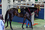 February 27, 2021 #6 Woodhouse in the paddock for the Southwest Stakes (Grade III) horse race at Oaklawn Racing Casino Resort in Hot Springs,  Arkansas. Ted McClenning/Eclipse Sportswire/CSM