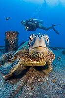 A diver (MR) and green sea turtle, Chelonia mydas, on the wreck of the YO-257 off Waikikik Beach, Oahu, Hawaii, USA, Pacific Ocean