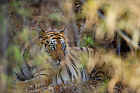 Vennetted by bamboo, Mahaman male, bengal tiger, spends his early morning at rest but always alert.