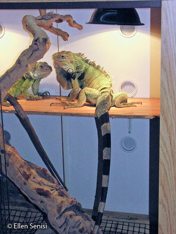 Astoria, New, York. Reptiles under heat lamp in their custom built cage. Left: female; Right: male. Both green Iguana:Iguana Iguana. Both eight years old. © Ellen B. Senisi