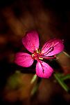 Flox flower near Lopez Lake State Park, CA