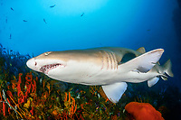 sand tiger shark, Carcharias taurus, aka grey nurse shark, spotted ragged-tooth shark, or blue-nurse sand tiger, Porth Elizabeth, Algoa Bay, Nelson Mandela Bay, South Africa, Indian Ocean