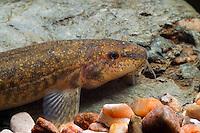 Bachschmerle, Bartgrundel, Schmerle, Barbatula barbatula, Noemacheilus barbatulus, Nemacheilus barbatulus, stone loach, stone-loach