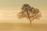 English Oak (Quercus robur) in fog, Switzerland, Europe