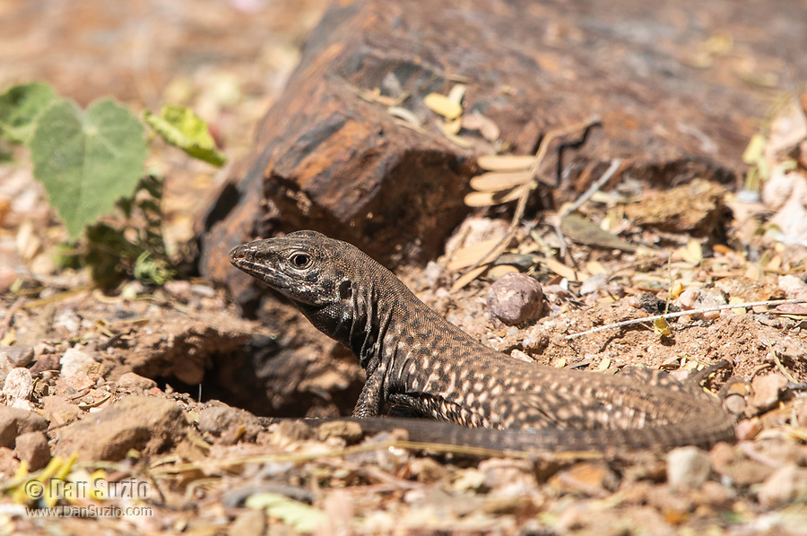 Sonoran Tiger Whiptail, Aspidoscelis tigris punctilinealis, stands at the entrance to its burrow in the Desert Botanical Garden, Phoenix, Arizona