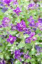 Annual clary (Salvia viridis 'Marble Arch Blue', syn. Salvia horminum), mid October.
