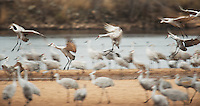 Sandhill cranes roost for the night on a sandbar in the Wisconsin River at the Aldo Leopold Foundation near Baraboo, Wisconsin on Friday, November 25, 2016