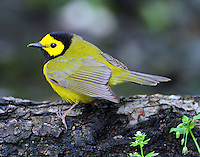 Male hooded warbler in April