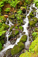 Classic Columbia River Gorge stream cascade through the mossy cobblestones, ferns and rocks in Spring time.