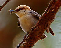 Brown-headed nuthatch with insect
