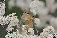 Eastern Fox Squirrel (Sciurus niger), adult perched on blooming Mexican Plum (Prunus mexicana), Hill Country, Texas, USA