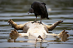 Black Vulture (Coragyps atratus) standing on a dead bloated Yacare Caiman (Caiman yacare) floating down the Cuiaba River, Northern Pantanal, Matto Grosso State, Brazil.