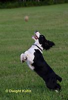 SH25-605z English Springer Spaniel playing catch ball