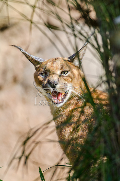 Caracal (Caracal caracal) calling.  Caracals make a range of sounds from miaows, growls, hisses, coughing calls to a bird like chirp.  Found in Africa through Central Asia and India.