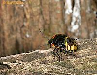 1007-06nn  Green Stink Bug Nymph - Acrosternum hilare - © David Kuhn/Dwight Kuhn Photography.