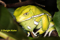 FR24-521z   Waxy Monkey Leaf Frog, Phyllomedusa sauvagii, Central and South America