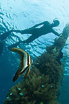 A juvenile Golden spadefish (Platax boersii)  under Arborek Jetty, whilst a local villager watches from the surface. Dampier Strait, Raja Ampat, Indonesia