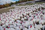 Farm raised turkeys