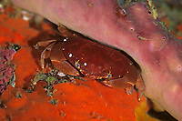 crab, Atergatis floridus, Shikine-jima island, Tokyo, Japan, Pacific Ocean