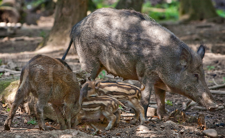 sow with her piglets