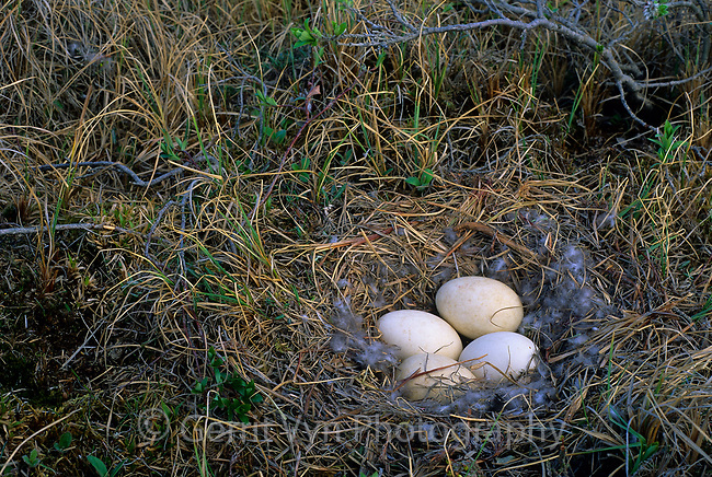 Greater White-fronted Goose nest and eggs. Colville River Delta, Alaska. June.