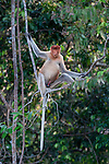 Young male Proboscis Monkey (Nasalis larvatus) resting on a riverside vine. Kinabatangan River, Sabah, Borneo.
