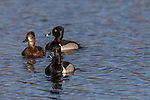 Pair of ring-necked ducks with a floater male tagging along.