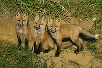 A trio of fox kits watching from outside their den