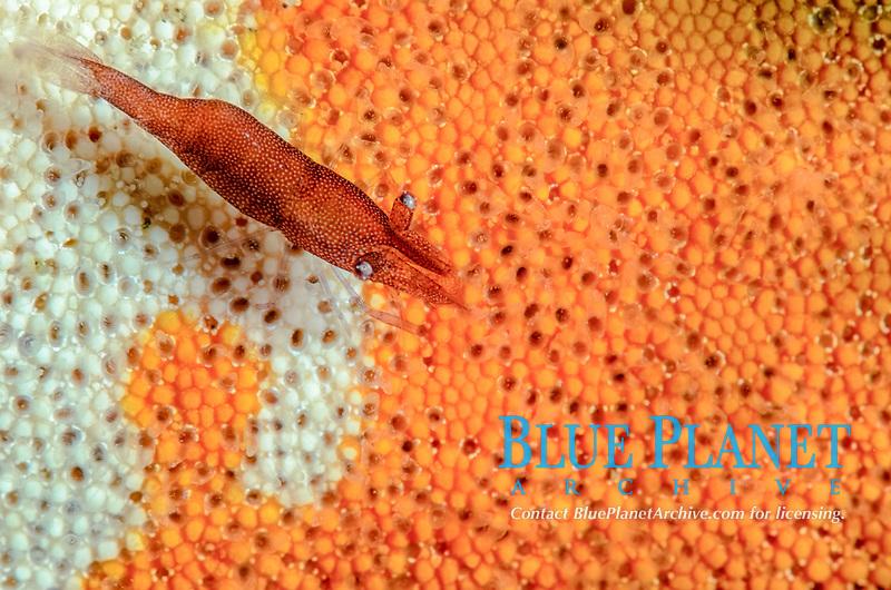 Sea star shrimp, Zenopontonia soror, Lembeh Strait, North Sulawesi, Indonesia, Pacific