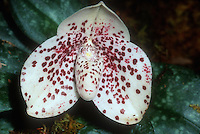 Paphiopedilum bellatulum, tropical slipper orchid species, white flower with red spots