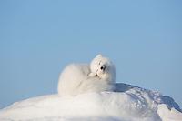 Arctic Fox at Seal River Heritage Lodge